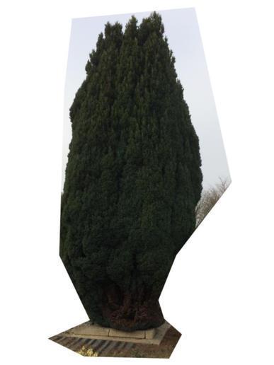 élagage ou abattage d'un conifère de 4 à 5 m de hauteur - 1